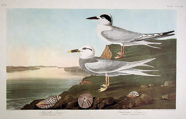 "Havell's Tern, Trudeau's Tern. From ""The Birds of America"" (Amsterdam Edition). John James AUDUBON."