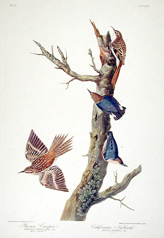 "Brown Creeper, Californian Nuthatch. From ""The Birds of America"" (Amsterdam Edition). John James AUDUBON."