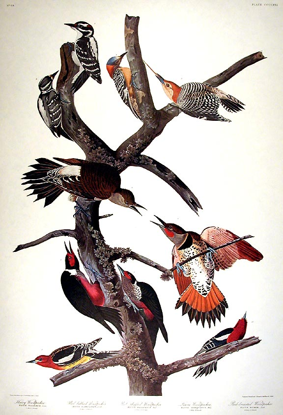 """Hairy Woodpecker, Red-bellied Woodpecker, Red-shafted Woodpecker, Lewis Woodpecker, Red-breasted Woodpecker. From """"The Birds of America"""" (Amsterdam Edition). John James AUDUBON."""