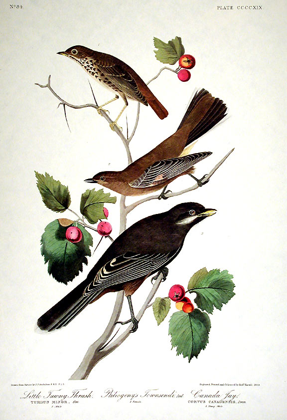 "Little Tawny Thrush, Canada Jay. From ""The Birds of America"" (Amsterdam Edition). John James AUDUBON."