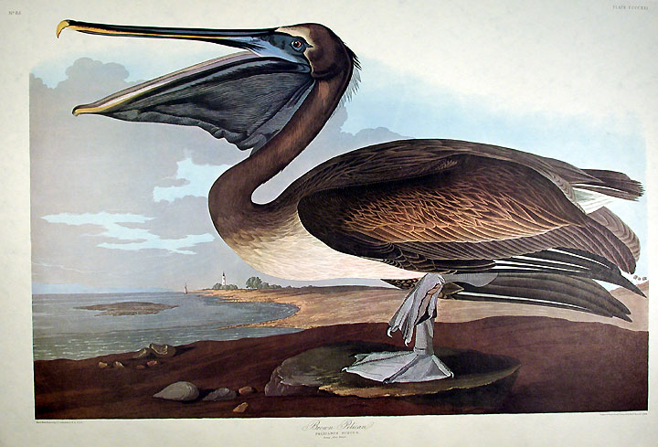 "Brown Pelican. From ""The Birds of America"" (Amsterdam Edition). John James AUDUBON."