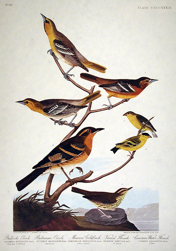 "Bullock's Oriole, Baltimore Oriole, Mexican Goldfinch, Varied Thrush, Common Water Thrush. From ""The Birds of America"" (Amsterdam Edition). John James AUDUBON."
