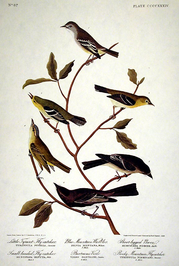 """Little Tyrant Fly-catcher, Small-headed Fly-catcher, Blue Mountain Warbler, Common Water Thrush. From """"The Birds of America"""" (Amsterdam Edition). John James AUDUBON."""