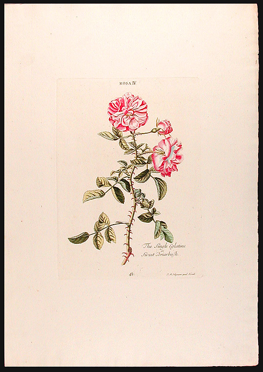 Rosa IV, The Single Eglatine or Sweet Briarbush. Christoph Jakob TREW.