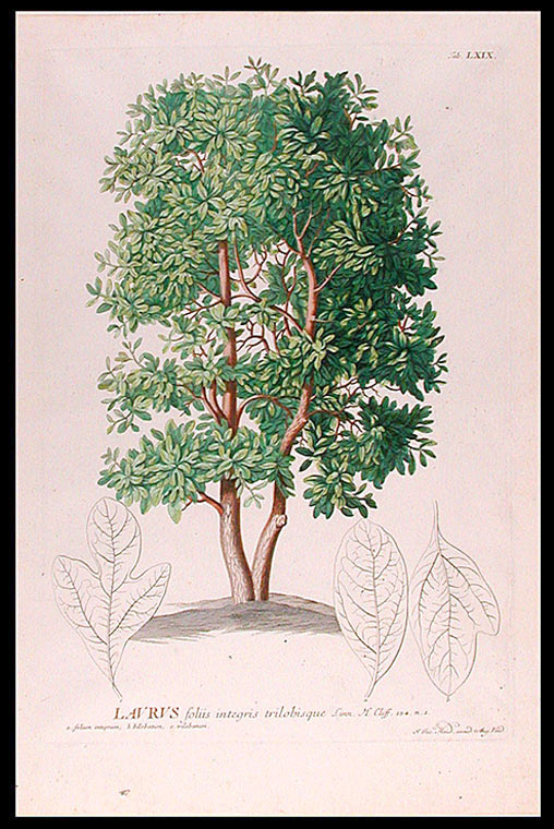 Laurus [Laurel]. After George Dionysius EHRET.