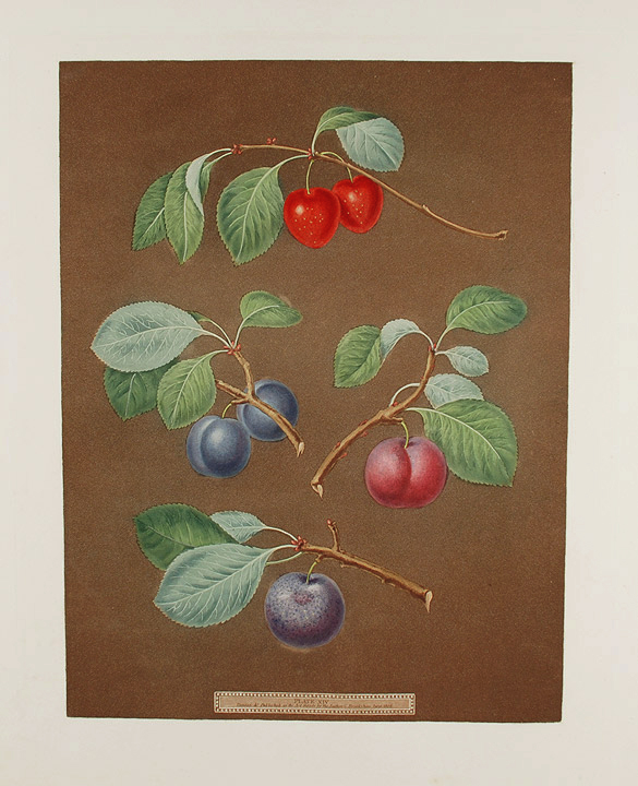 [Plums] Cherry Plum; Laurance Plum; French Orlean; Common Orlean. After George BROOKSHAW.
