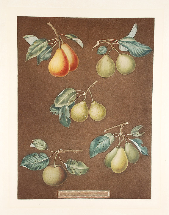 [Pears] King Catherine Pear (Catherine Royal); Lemon Pear; Late Petite Muscat; Oignon La Reine; Long stalked Blanquet. After George BROOKSHAW.