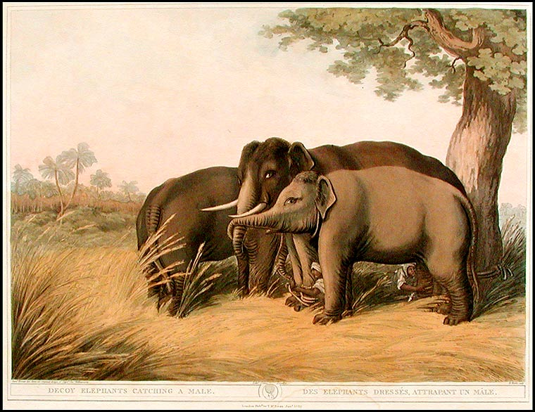 Decoy Elephants Catching a Male/Des Elephants Dressés, Attrapant un Mâle. Samuel HOWITT.