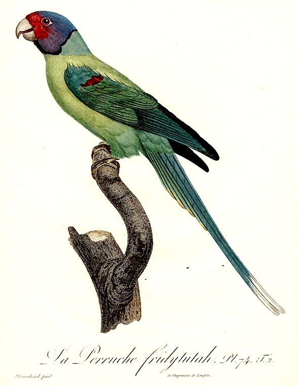 La Perruche fridytutah [Plum-headed Parakeet (Psittacula cyanocephala)]. Jacques BARRABAND, 1767/.