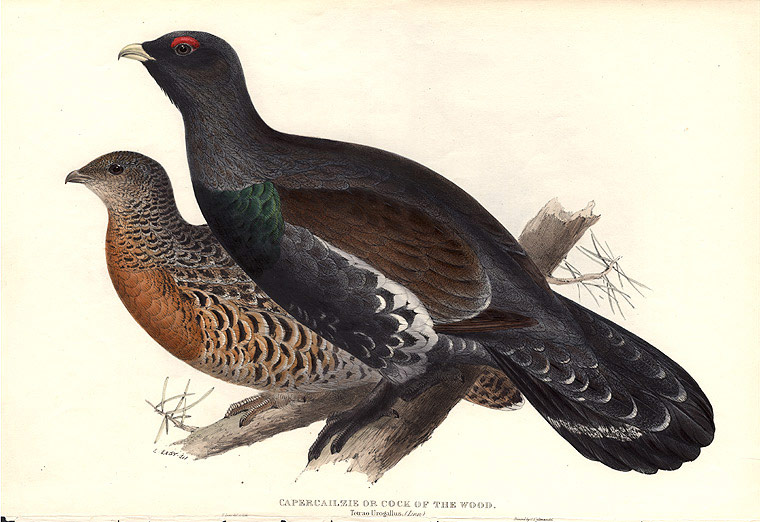 Capercailzie or Cock of the Wood. Tetrao Urogallus. Edward LEAR.