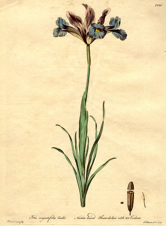 Iris augustifolia bicolor / Narrow leaved Flower-de-luce with two Coulours. John EDWARDS.