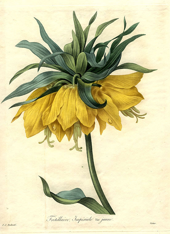 Fritillaire Imperiale var. jaune [Crown Imperial Fritillary]. After Pierre-Joseph REDOUTÉ.