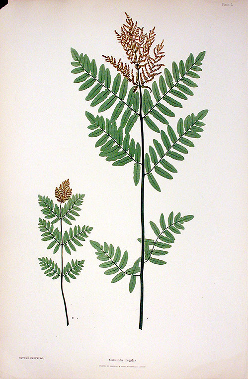 Osmunda regalis [Buckthorn Brake]. Thomas MOORE.