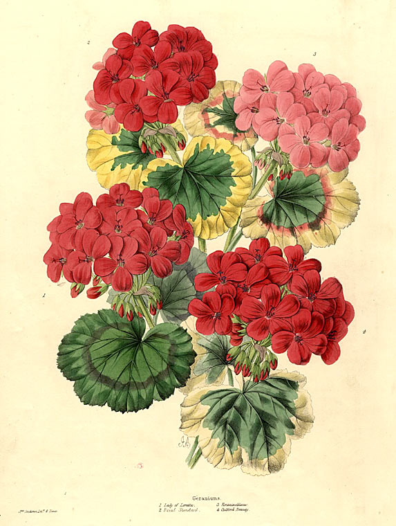 Geraniums. 1. Lady of Loretta. 2. Royal Standard. 3. Fontainbleau. 4. Gulford Beauty. [Bouquet of four varieties of Geranium]. James ANDREWS.