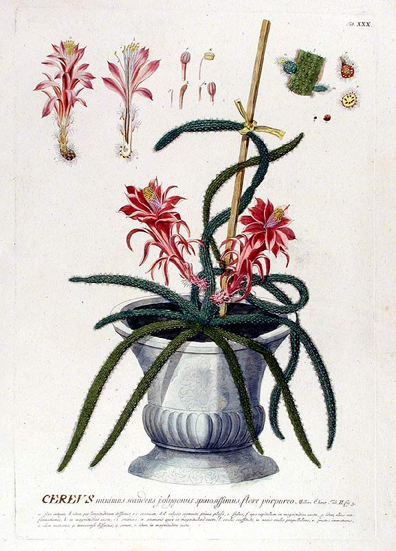 Cereus. After George Dionysius EHRET.