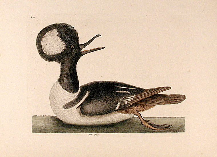 Mergus [Hooded Merganser]. Mark CATESBY.