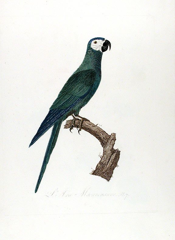Red-bellied Macaw (L'Ara Macavouanne). Jacques BARRABAND, 1767/.