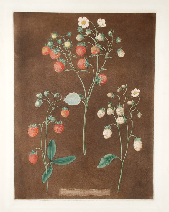 [Strawberries] New Early Prolific (Scarlet Strawberry); Wood Strawberry; White Alpine. After George BROOKSHAW.