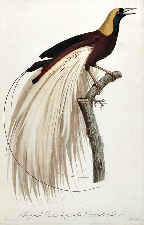Le grand Oiseau de paradis, émeraude, mâle [Greater Bird of Paradise, male (Paradisea apoda)]. Jacques BARRABAND, 1767/.