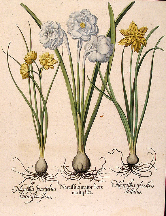 [Double-flowered white garden narcissus] Narcissus maior flore multiplice; [Double-flowered narcissus, stellate form] Narcissus sylvestris stellatus; [Double-flowered yellow jonquil] Narcissus Juncifolius luteus flore pleno. Basil BESLER.