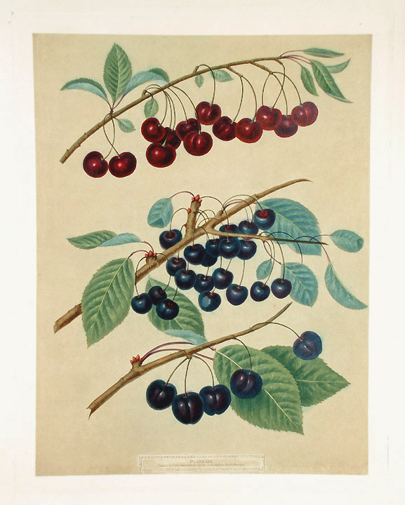 [Cherries] Morello; Caroon; Ronolds Black Heart. After George BROOKSHAW.