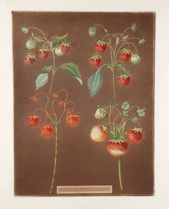 [Strawberries] Early Scarlet Strawberry; Late Scarlet; Golden Drop; Pine. After George BROOKSHAW.