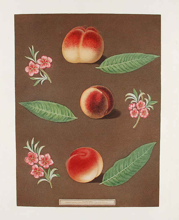 [Peach] Grimwood's Royal George Peach; Grimwood's Royal Charlotte Peach; French Magnonne. After George BROOKSHAW.