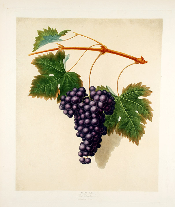 [Grapes] Red Frontiniac Grape. After George BROOKSHAW.