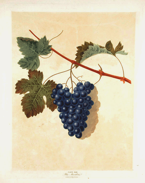 [Grapes] Blue Muscadine Grape. After George BROOKSHAW.
