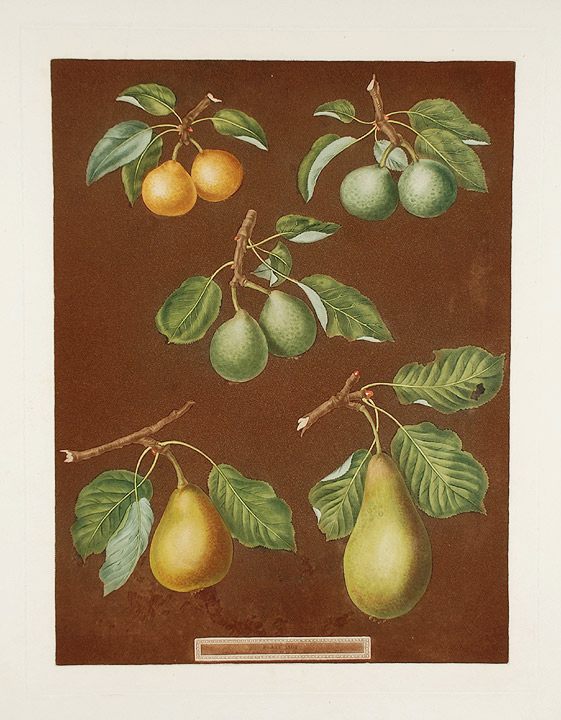 [Pears] Petit Muscat (Early Muscat Pear); Green Sugar Pear; Green Chisel Pear; Citron de Charmers. After George BROOKSHAW.
