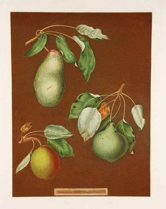 [Pears] Double Blossom Pear; Swan's Egg Pear; Winter Swan's Egg Pear. After George BROOKSHAW.