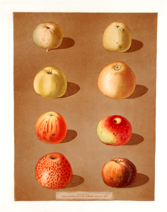 [Apples] Robertson's Pippin; Blanchard's Peppin; Lemon Pippin Apple; Aromatic Pippin; Embroidered Pippin. After George BROOKSHAW.