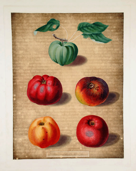 [Apples] Calville White Apple; Red Calville; Norfolk Beefing; Norfolk Paradise. After George BROOKSHAW.