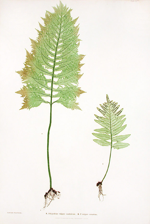 Polypodium vulgare cambricum [Brake Root]; P.vulgare crenatum [Brake Root]. Thomas MOORE.