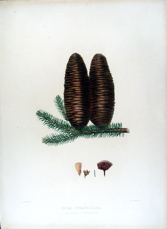 Picea pinsapo. (Spanish Fir). Edward James RAVENSCROFT, - James BLACK.