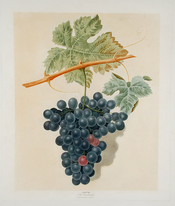 [Grapes] The Frankindale. After George BROOKSHAW.
