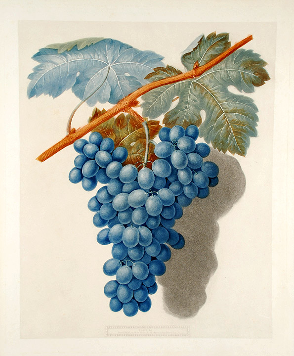 [Grapes] Black Marocco (Morocco Grape). After George BROOKSHAW.