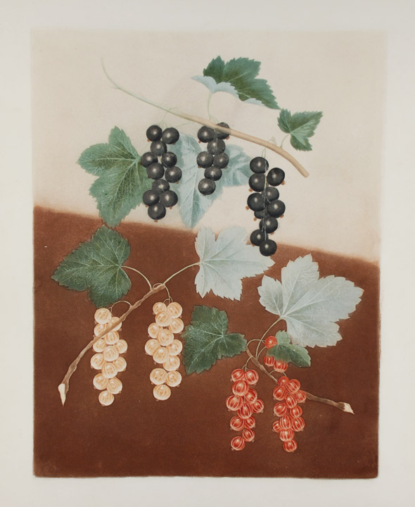 [Currants] Black Currant; White Currant; Dutch Red Currant. After George BROOKSHAW.