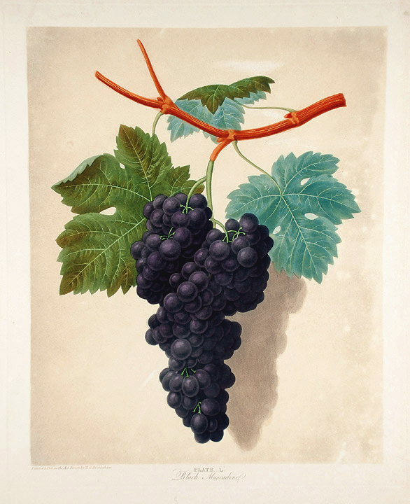 [Grapes] Black Muscadine. After George BROOKSHAW.