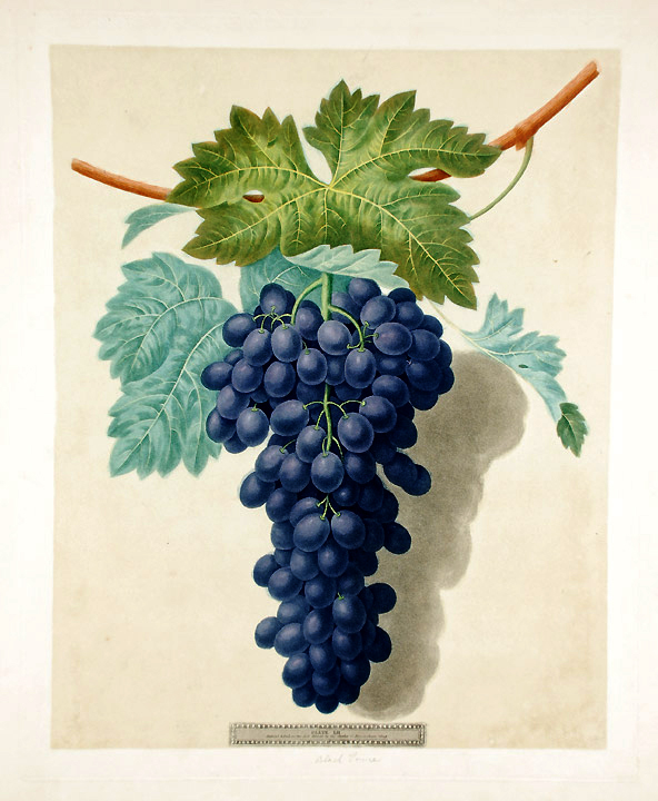 [Grapes] Black Prince Grape. After George BROOKSHAW.