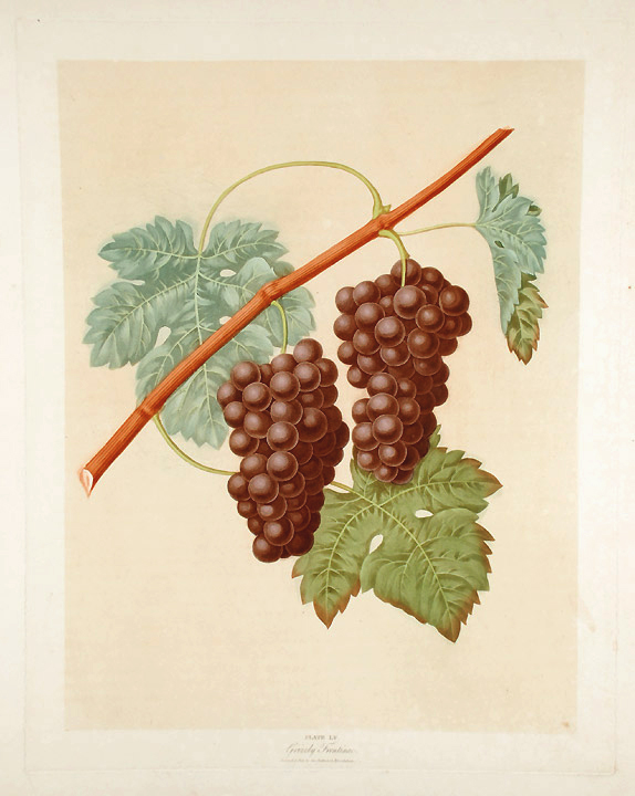 [Grapes] Grizzly Frontinac Grape. After George BROOKSHAW.