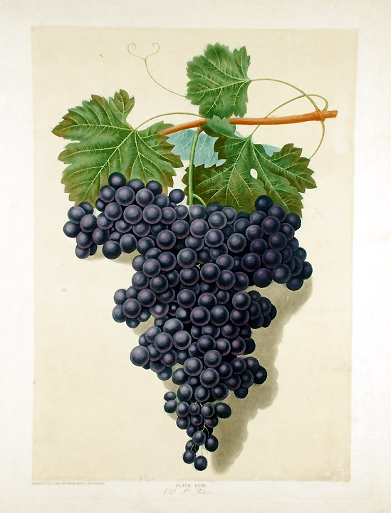 [Grapes] Old St. Peter Grape. After George BROOKSHAW.