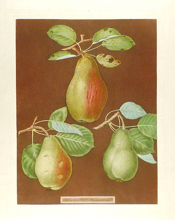 [Pears] Chaumontelle Pear; Windsor Pear; Summer Bon Chretien. After George BROOKSHAW.