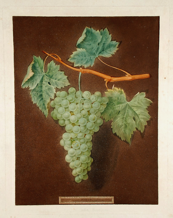 [Grapes] White Frontiniac Grape. After George BROOKSHAW.