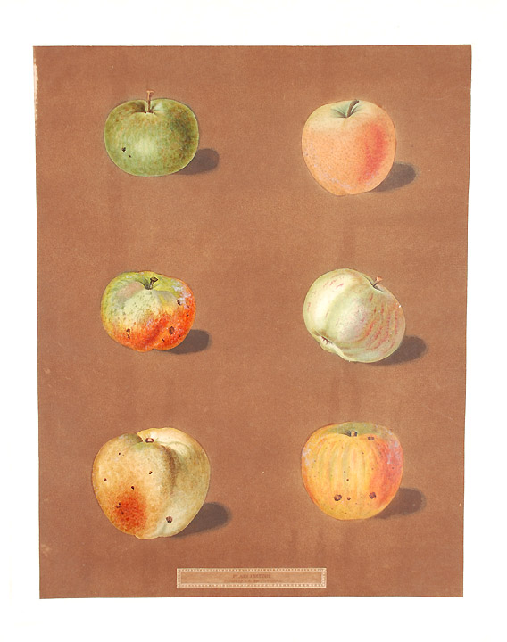 [Apples] Rennet Gray, July-Flower Apple, Scarlet Pearmain. After George BROOKSHAW.