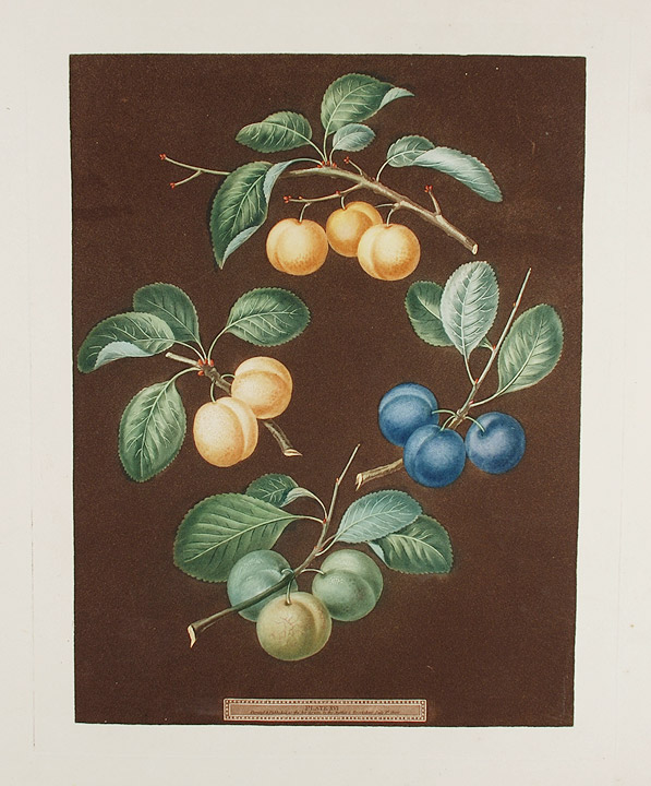 [Plums] Drap d'Or, White Gage Plum, Blue Gage Plum, Green Gage. After George BROOKSHAW.