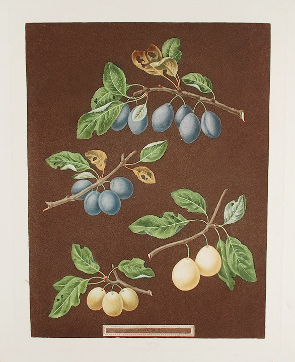[Plums] Common Damson, White Damson. After George BROOKSHAW.