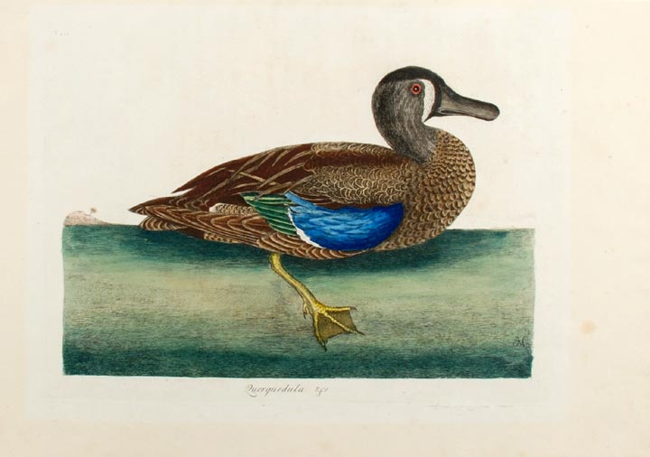 Querquedula &c [ Blue-winged Teal]. Mark CATESBY.