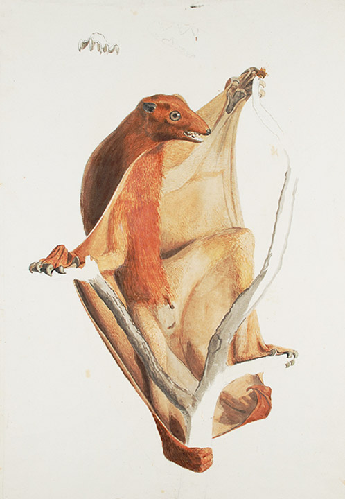 Flying lemur, an original watercolour sketch for a published print. Jean-Baptiste AUDEBERT.