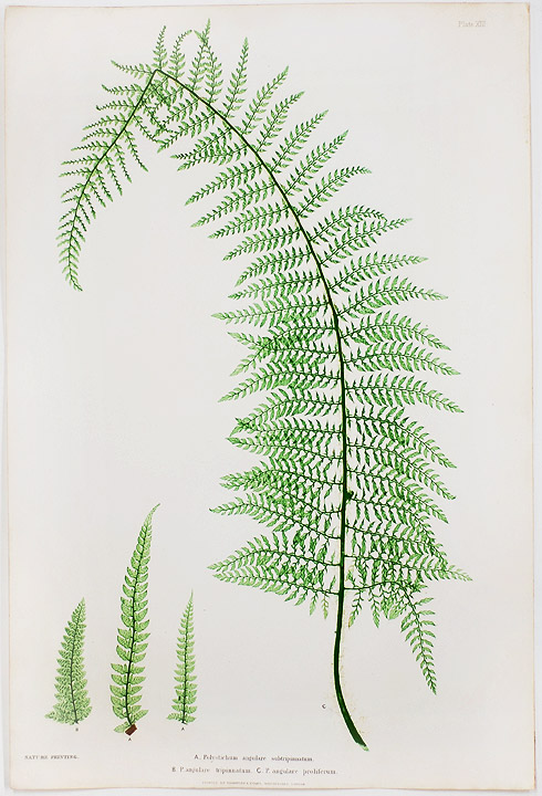Polystichum angulare subtripinnatum [Holly Fern]; P.angulare trippinatum [Holly Fern]; P.angulare proliferum [Holly Fern]. Thomas MOORE.